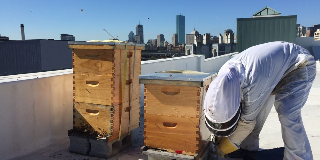 urban beekeepers have a different approach from their ancient predecessors.