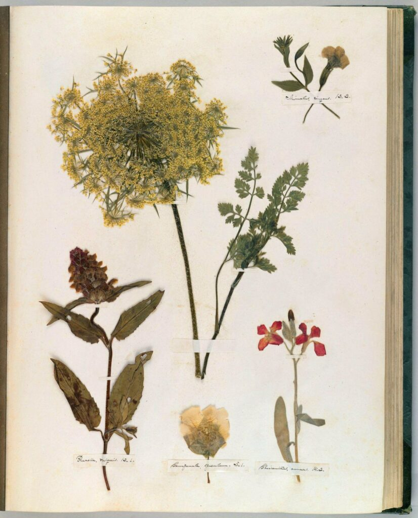 Page of botanical florals from Emily Dickinson's herbarium.