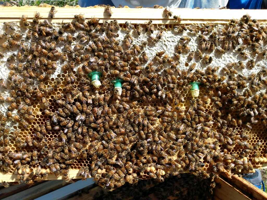 Brood frame used for queen rearing
