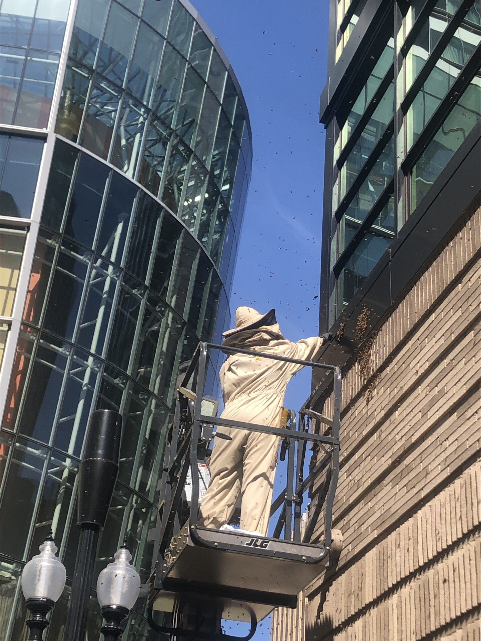 Beekeeper Bronia completing swarm prevention in downtown Boston.