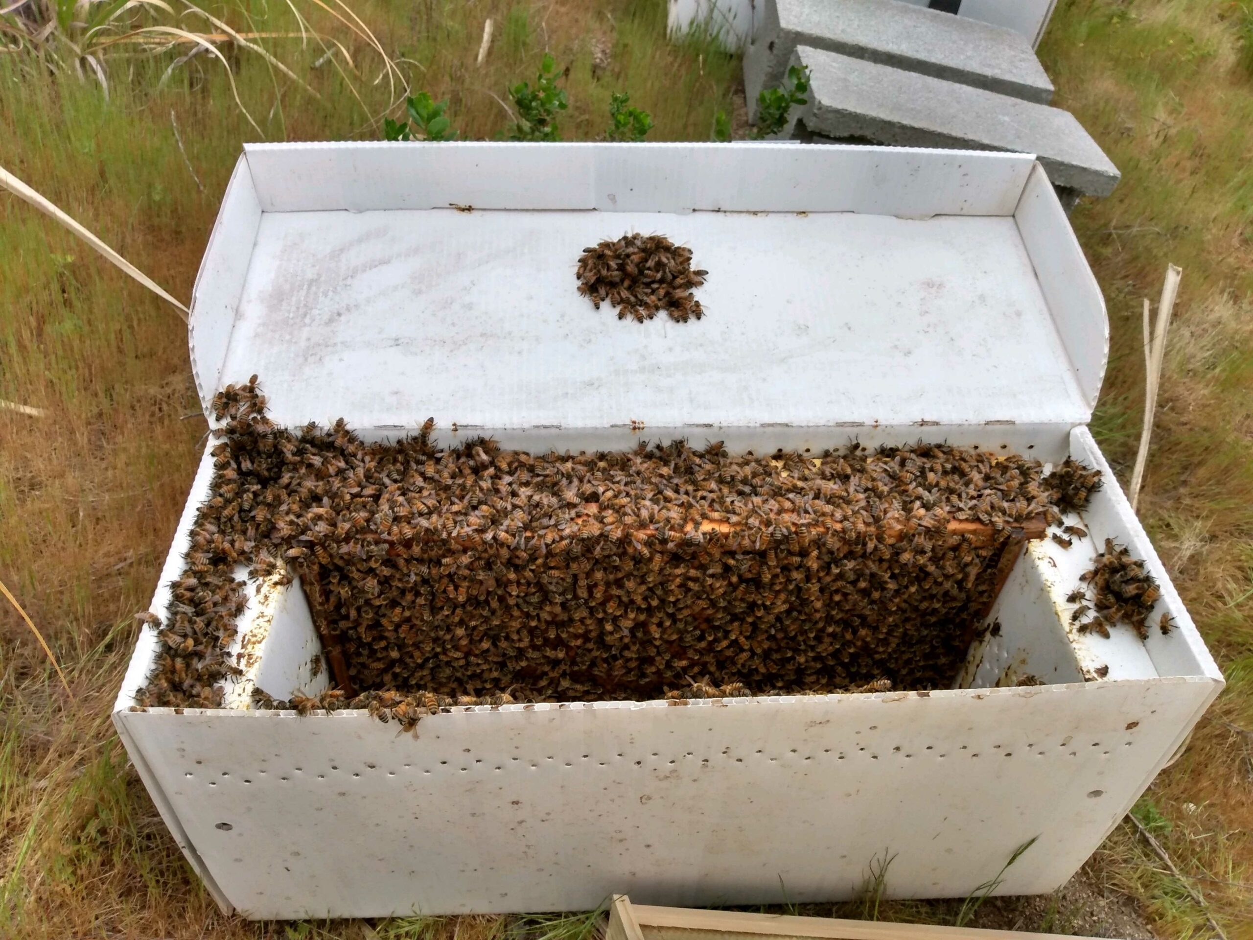 Newly caught bee swarm in a nuc box.