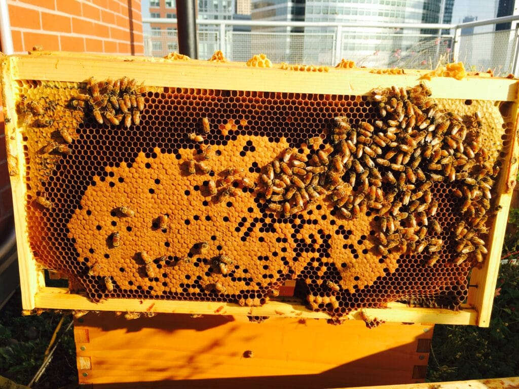 frame of bees in a smarthive