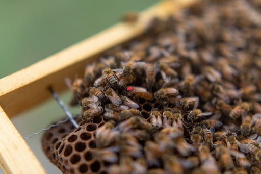 Queen bee amongst other honeybees marked red for the year 2018.