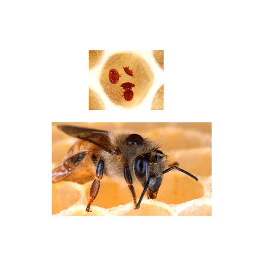 Varroa mite photographed on the body of a honeybee.