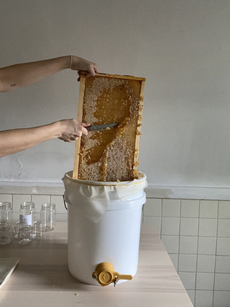 Uncapping the honeybee hive with a knife